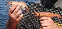 "Kitsilano's Refuel Extending Its ""BC Spot Prawn Boil"" Into June"