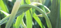 VICTORY GARDENS: On Garlic Scapes And What To Do With Their Total Awesomeness