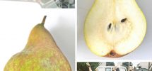 VICTORY GARDENS: On Where To Find And What To Do With Autumn's Awesome Pears