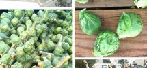 VICTORY GARDENS: New Year's Resolution For 2013? Eat A Lot More Brussels Sprouts!