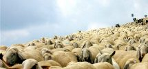 VANCOUVER WOULD BE COOLER IF #200: It Used Sheep To Replace Noisy Lawnmowers