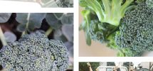 VICTORY GARDENS: On The Tasty Beauty And Sneaky Nature Of Summer Broccoli