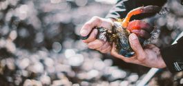 GOODS | New Ocean Wise Study Recommends Nuu-chah-nulth Gooseneck Barnacle Harvest