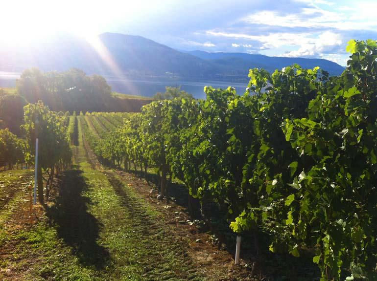 Daydreamer-Merlot-vineyard-2013-copy